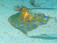 Blue spotted stingray Egypten 2011