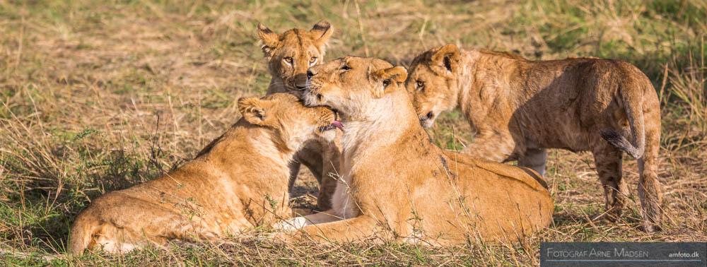 Løvemor med unger