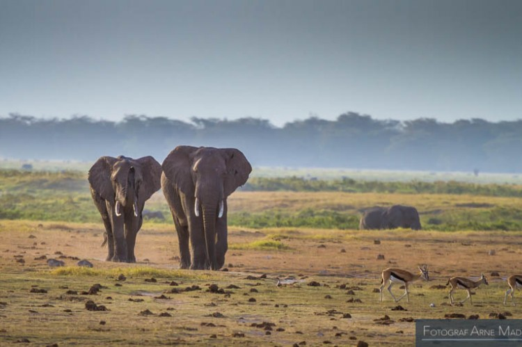 Elefantvandring, Kenya
